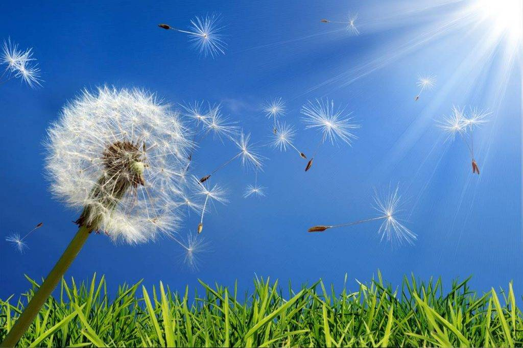 allergu-dandelion-1024x682-1