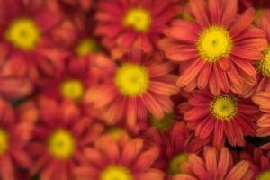 flower mums red blur 1024x682 1